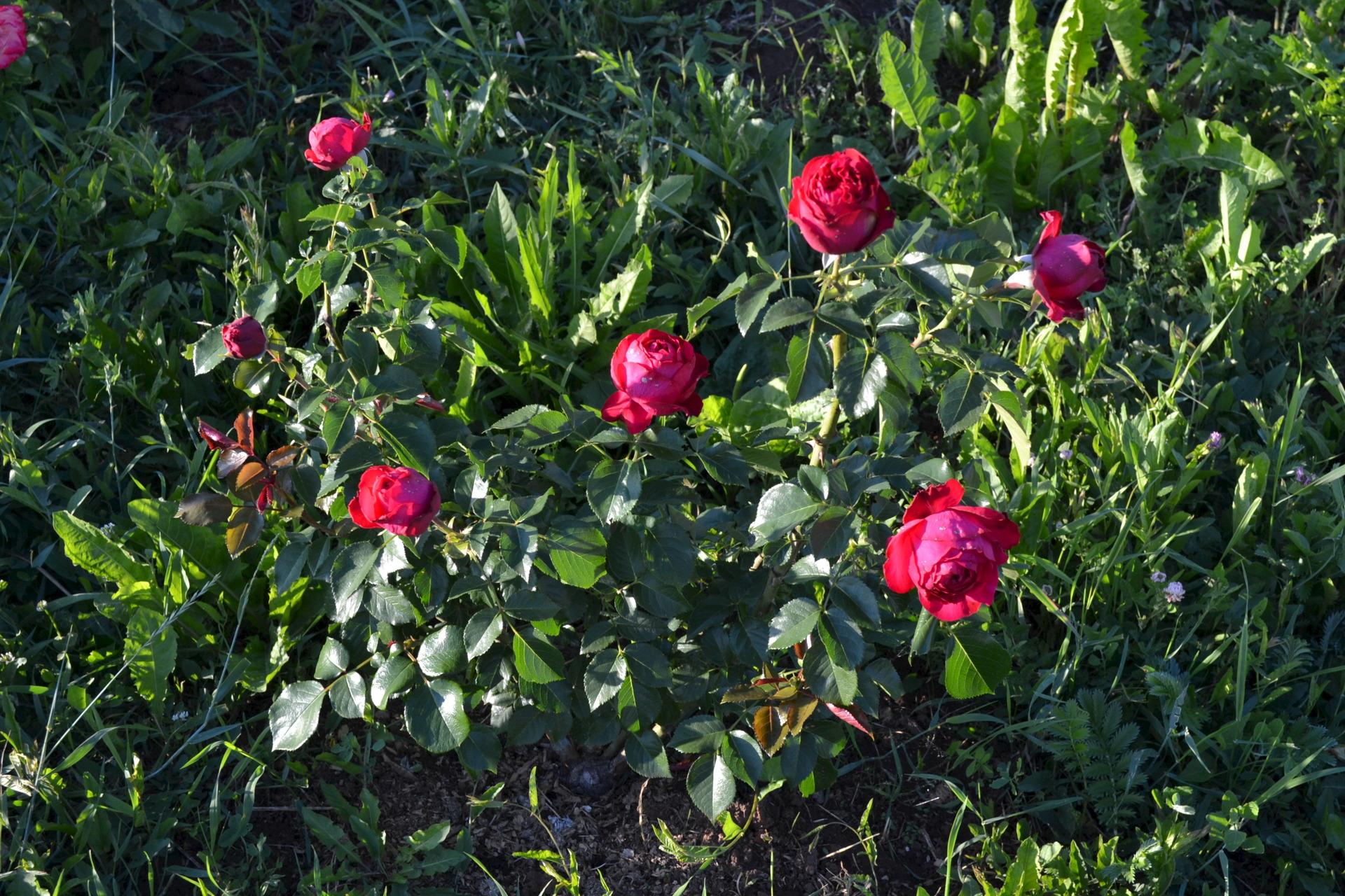 Фотография розы в саду