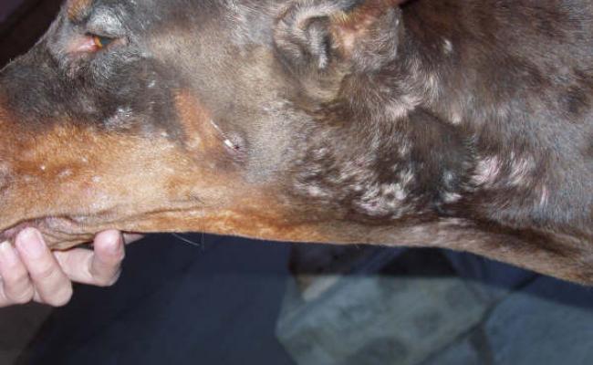 Ушная чесотка на волосистой части