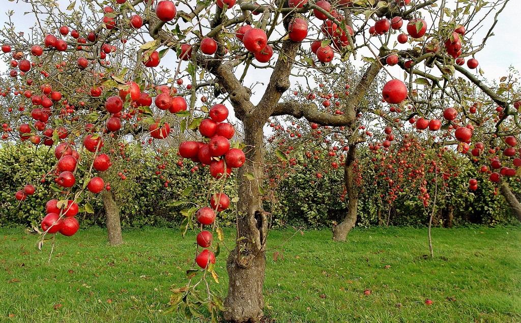 Дерево яблони без листьев