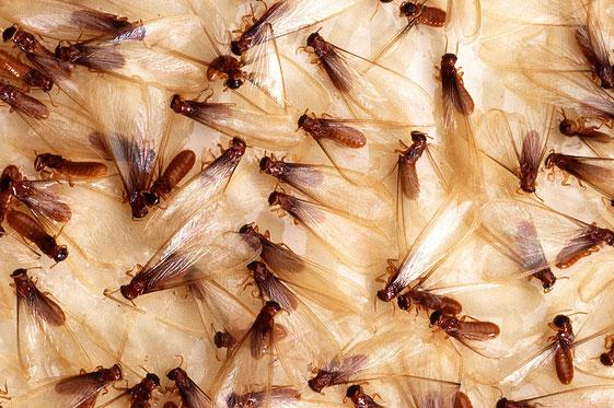 Спаривание летающих муравьев
