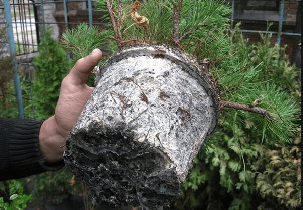 Мучнистый червец в корнях