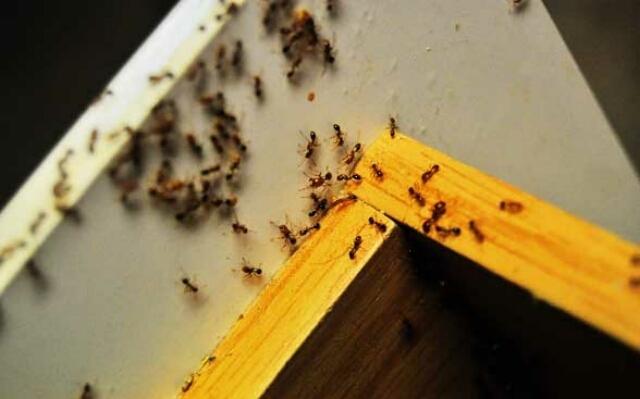 Фараоновые муравьи и методы борьбы с ними