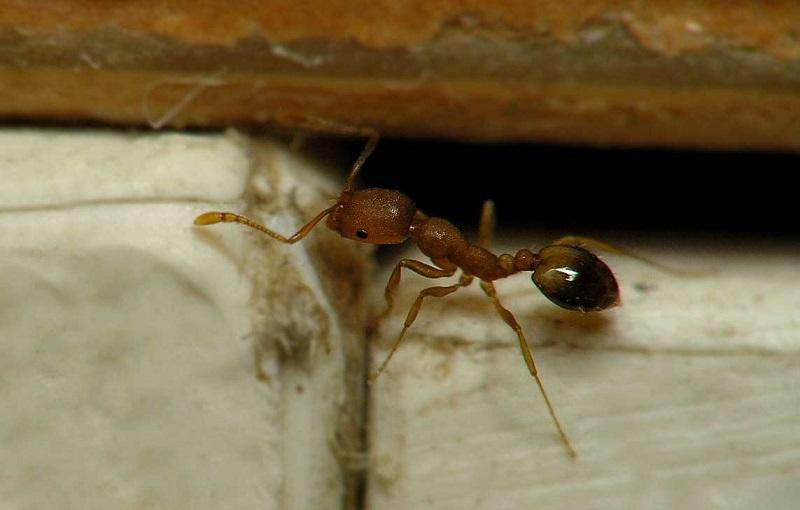 Самка рыжего муравья
