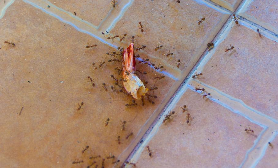 Рыжие муравьи в квартире фото