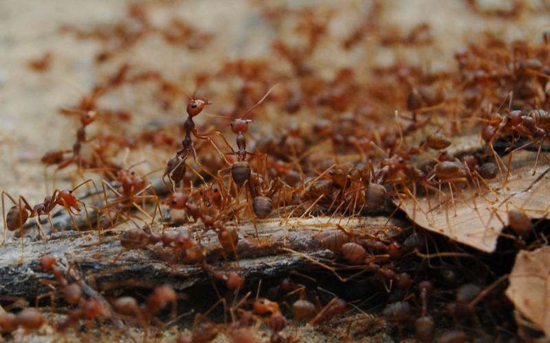 Колония рыжих муравьев