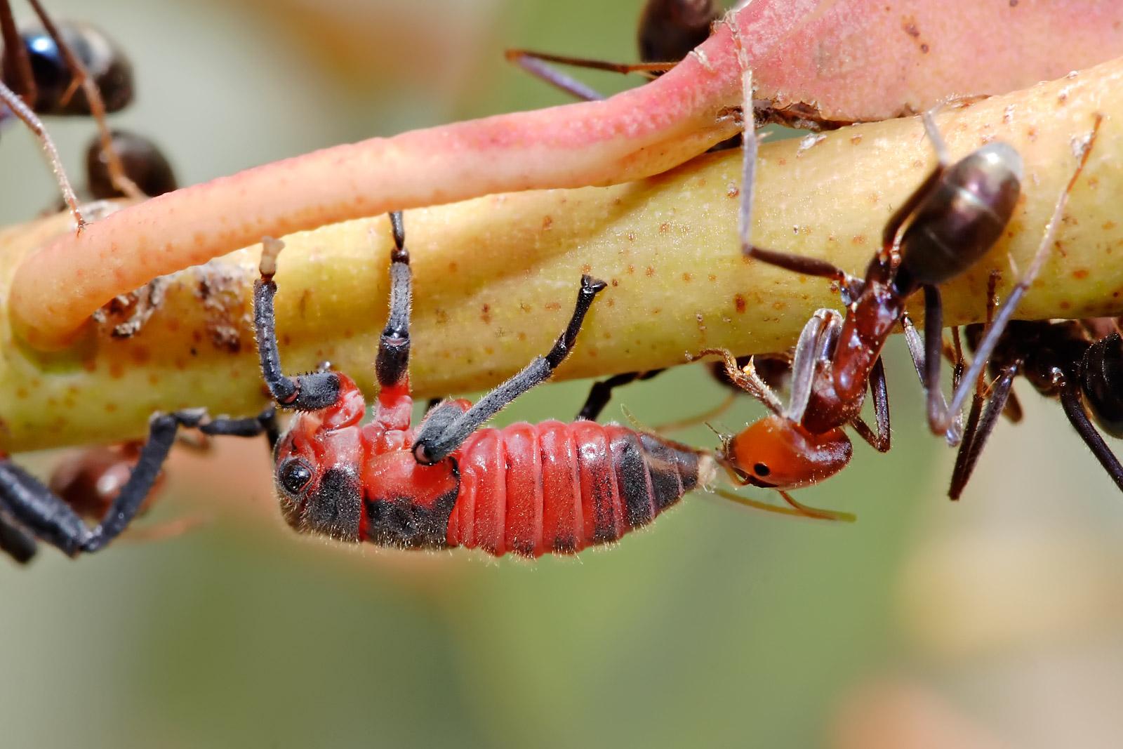 Чрные муравьи древоточцы