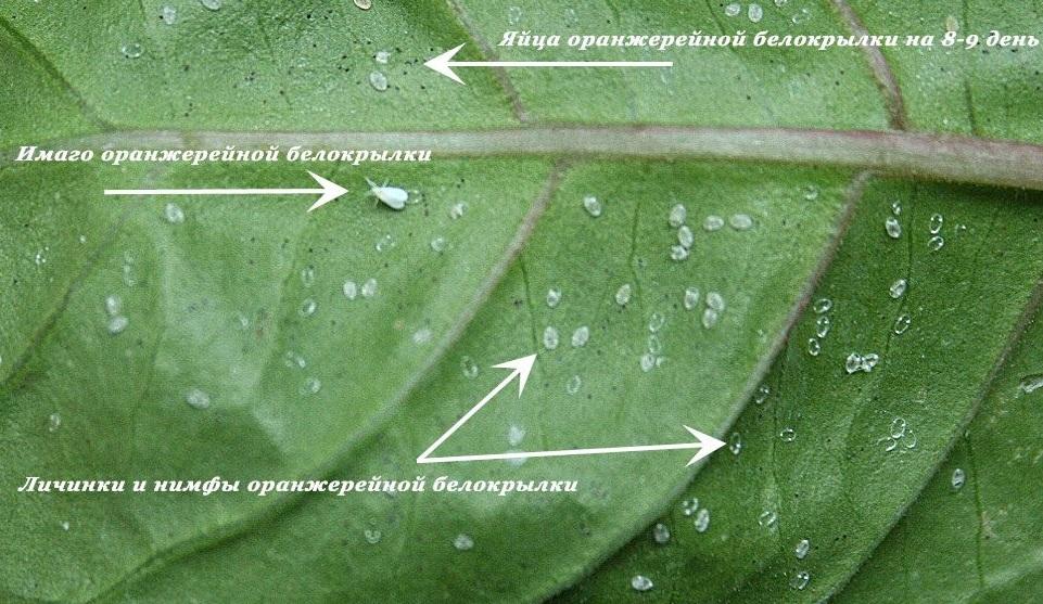 Белокрылка на разных стадиях развития