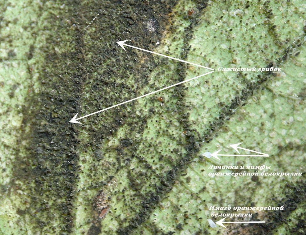 Белокрылка провоцирует многие болезни растений