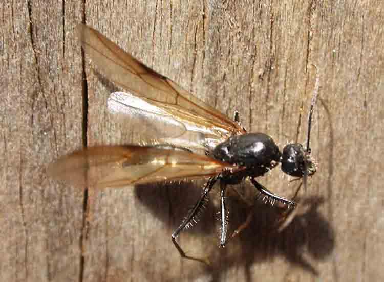 Есть ли крылья у муравьев