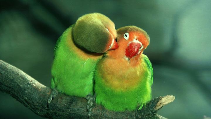 Лечени блох у волнистых попугаев