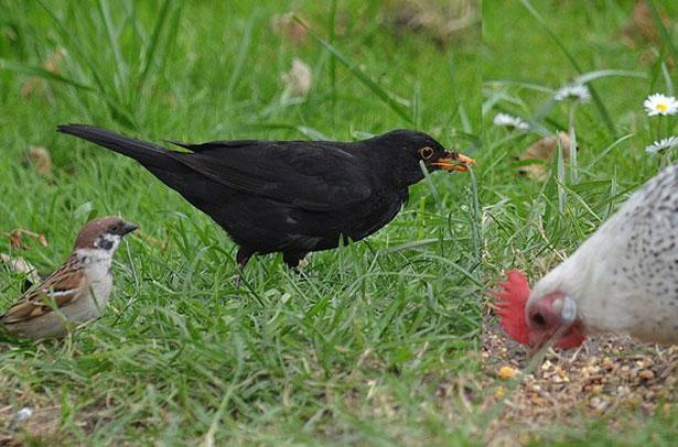 Дикие птицы - переносчики паразитов