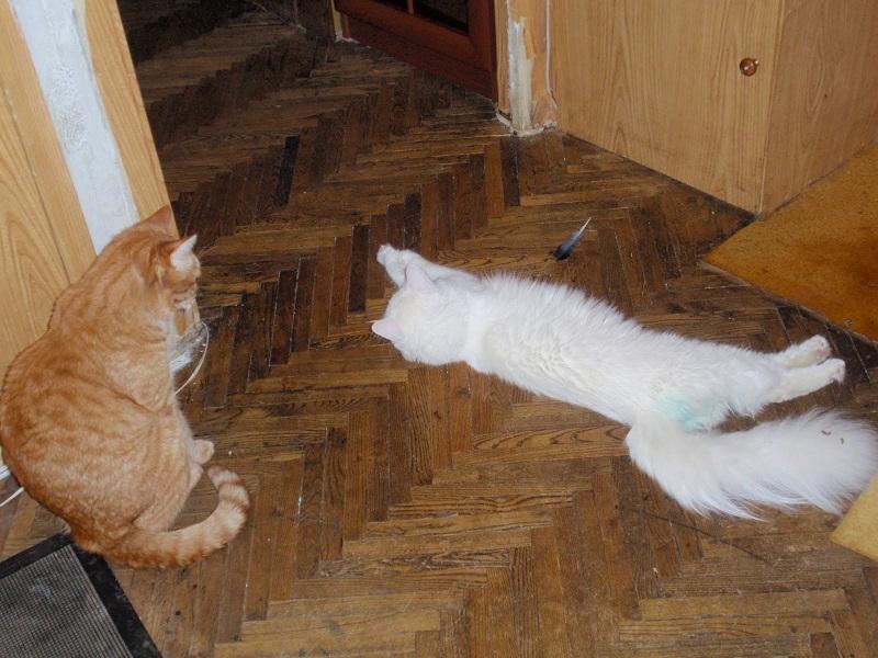 Кошки - источники блошиной заразы