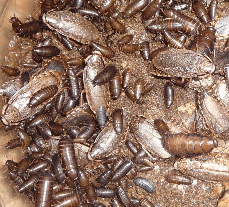 Мраморные тараканы - колония