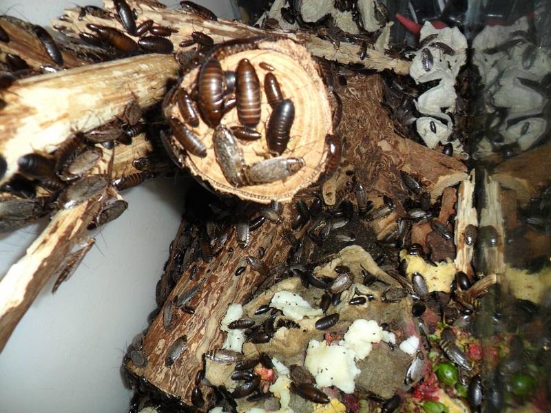 Мраморный таракан всеяден