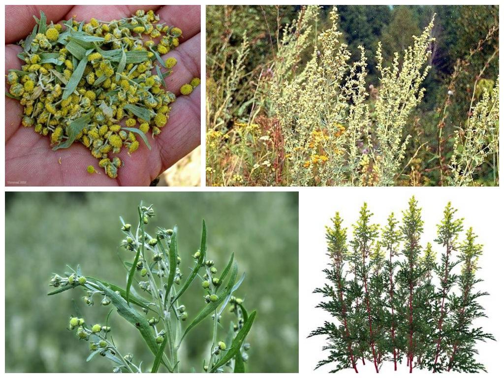 Полынь используется в любом виде - цветы, стебли, сухие пучки