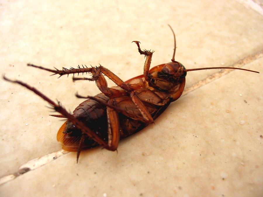 Таракана можно только уничтожить - изгнать не получится