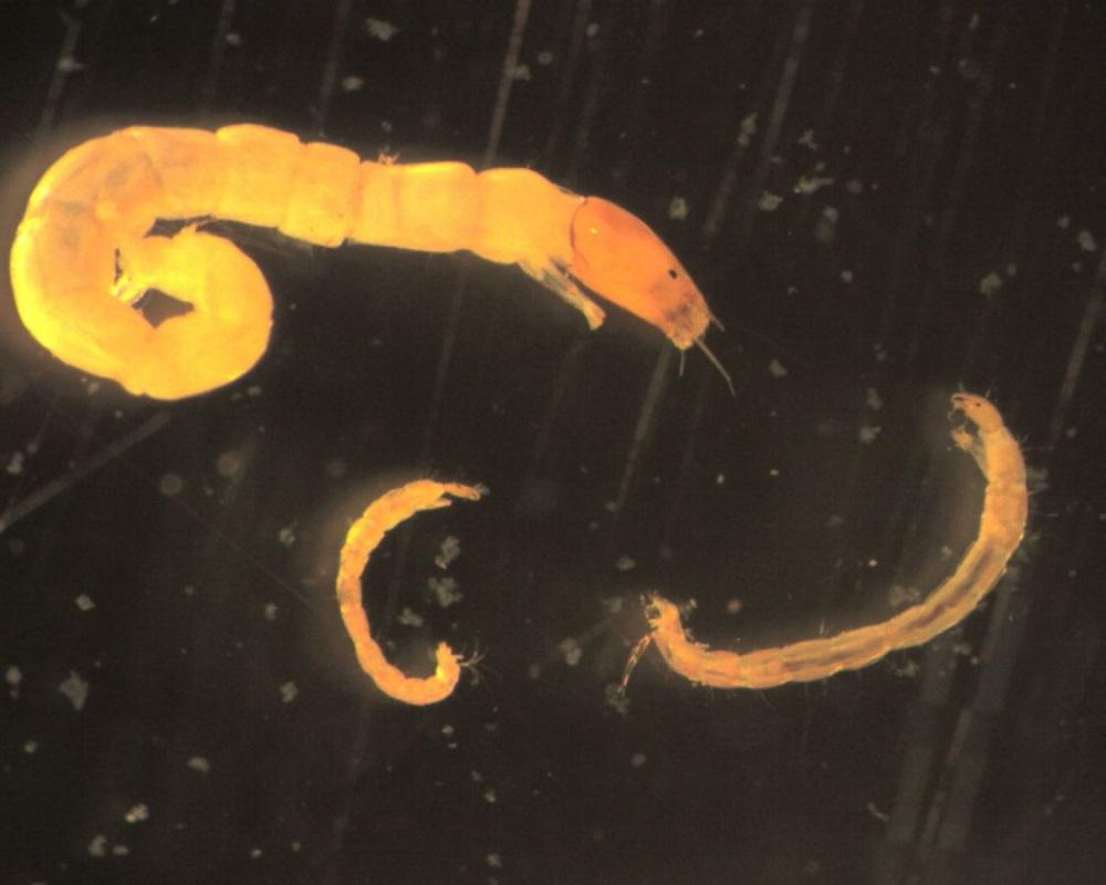 Личинки бабочницы