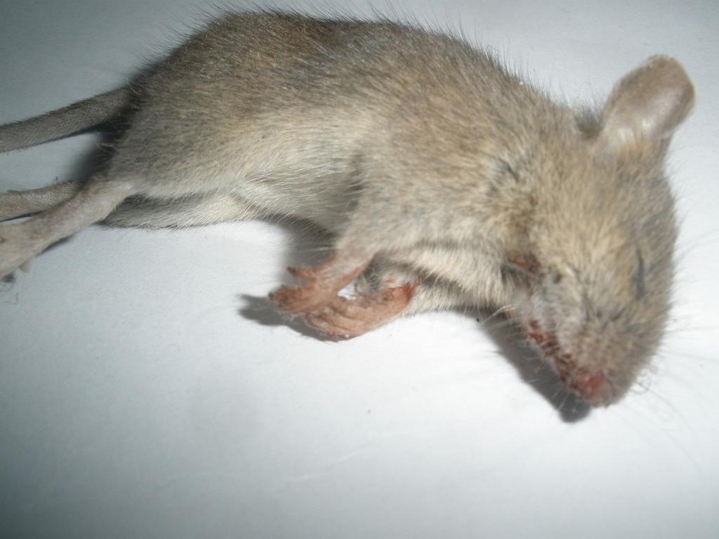 Погибшая мышь