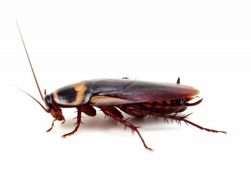 Рыжие тараканы прусаки в квартире: как избавиться и меры борьбы