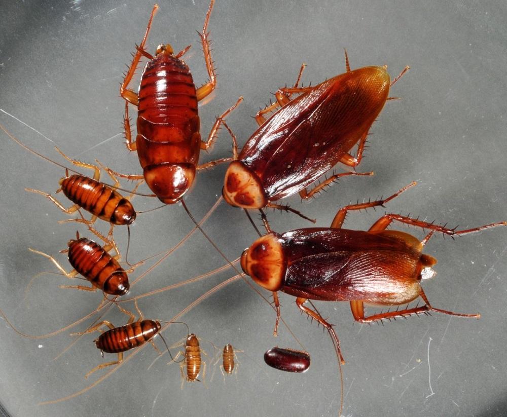 Тараканов уничтожить можно только спецпрепаратами