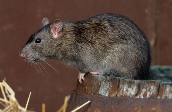 Крысу в курятник привлекает изобилие пищи