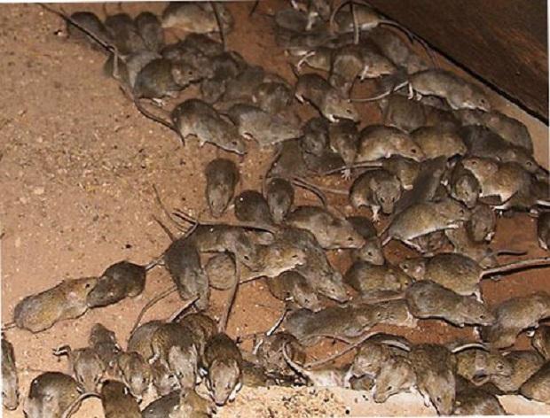 Если не бороться с крысами, последствия могут быть катастрофическими