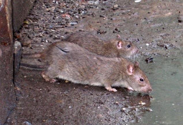 Крыса подвальная