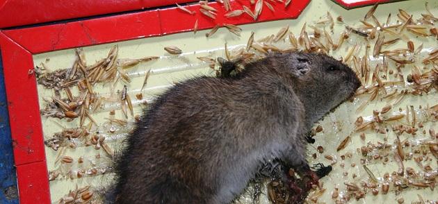 Как выловить крыс в доме