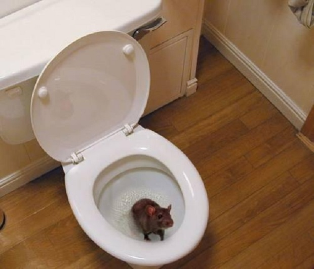 Крысы могут проникнуть в дом через канализацию