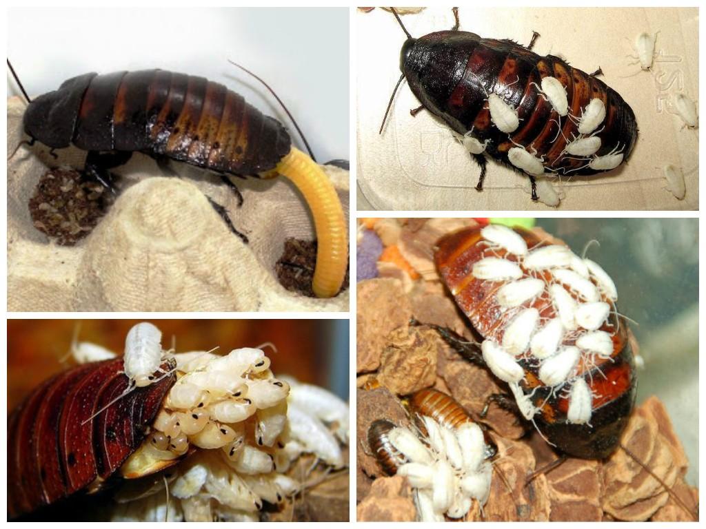 Размножение мадагаскарского таракана