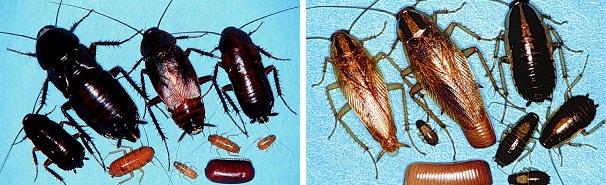 Прусаки и черные тараканы