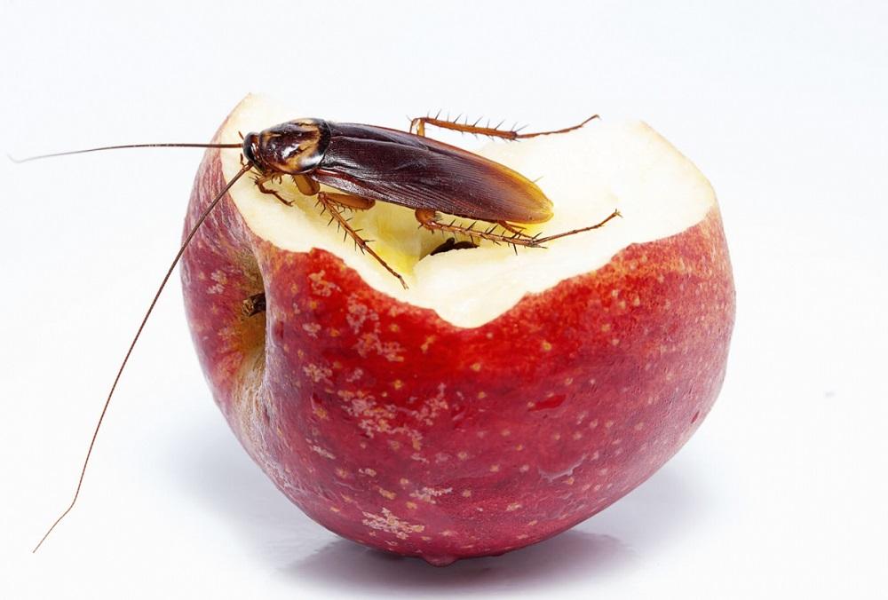 Тараканы всеядны