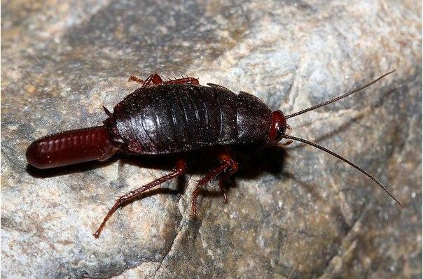 Фото самки таракана с оотекой
