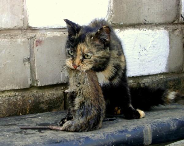 Ситуацию спасет кот-крысолов