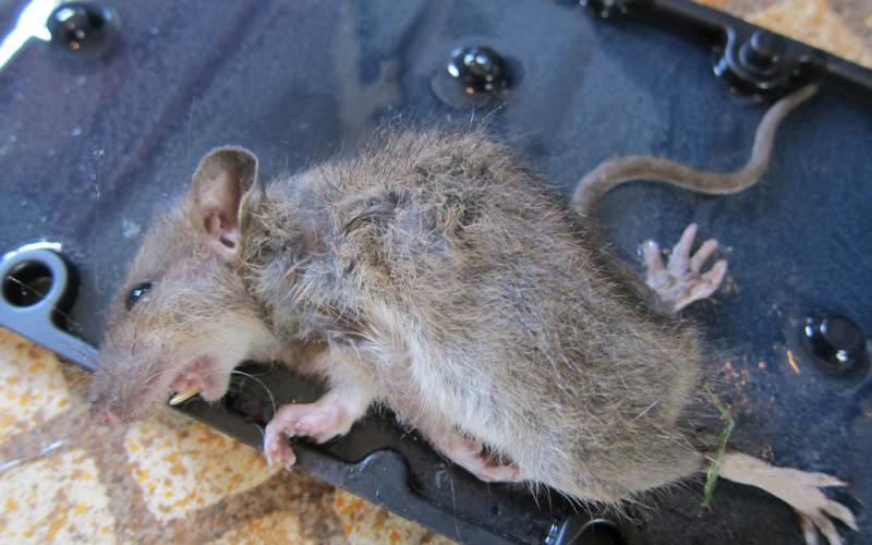Крысы подлежат обязательному уничтожению