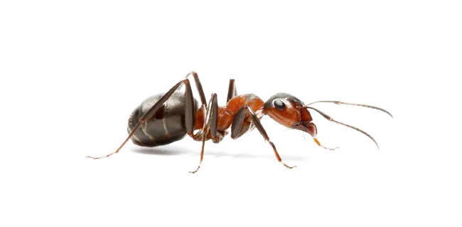 Фотография муравья