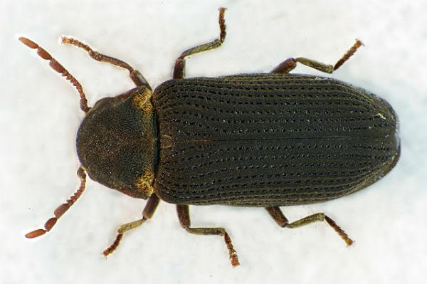 Фото жука точильщика