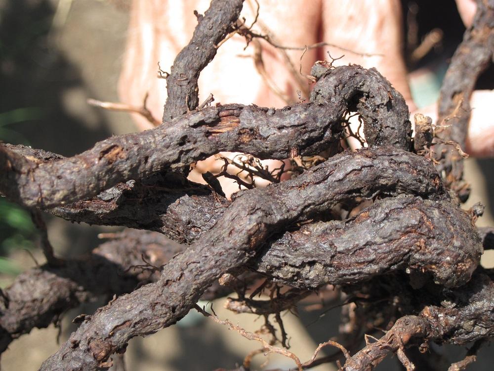 Пораженный корень