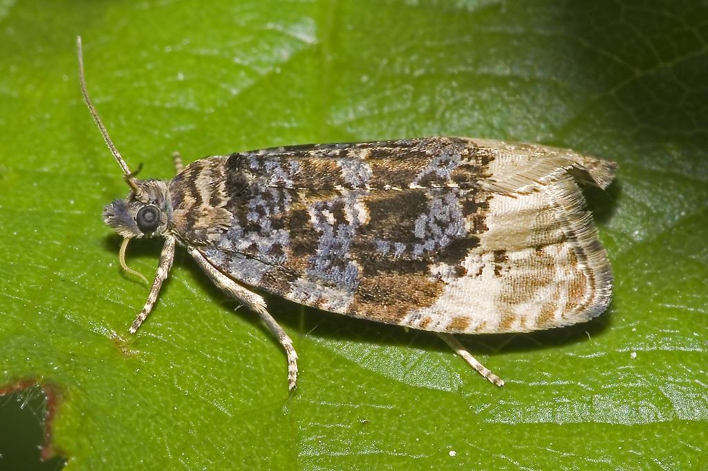 Листовертка на груше: фото бабочки