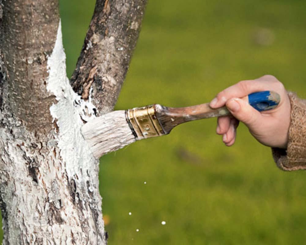 Деревья нужно белить известью