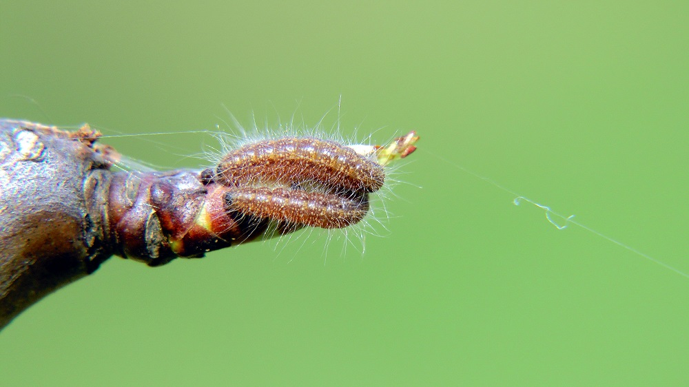 Гусеница боярышницы