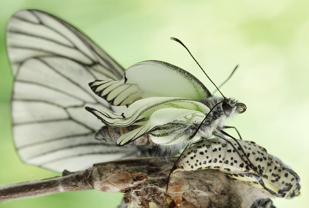 Бабочка боярышницы очень плодовита