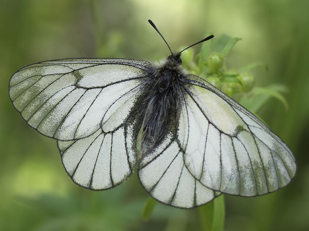 Боярышница - фото бабочки