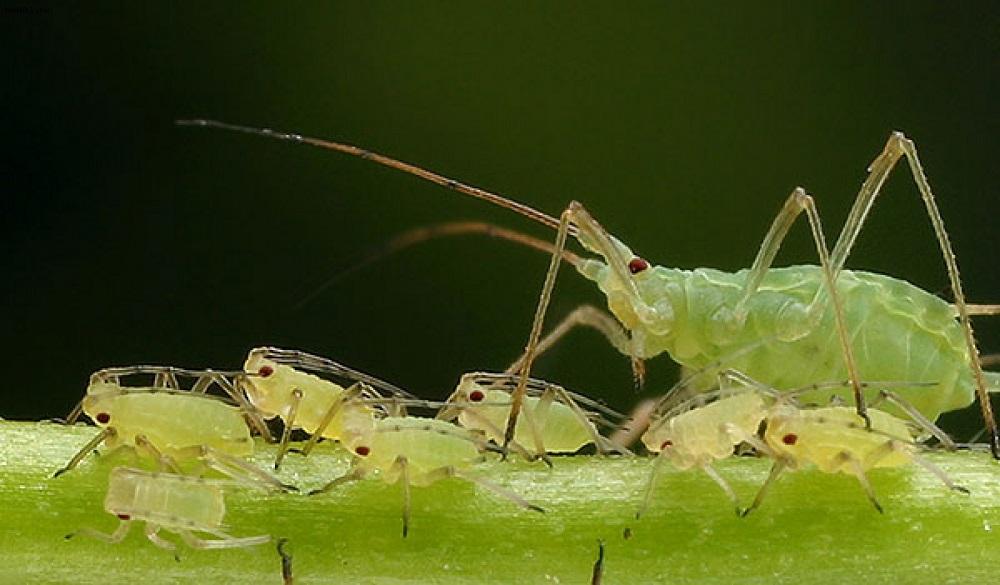Тля на яблоне - фото взрослой самки и потомства