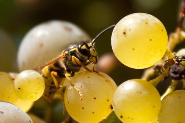 Осы питаются соком винных ягод, которые часто уже повреждены птицами