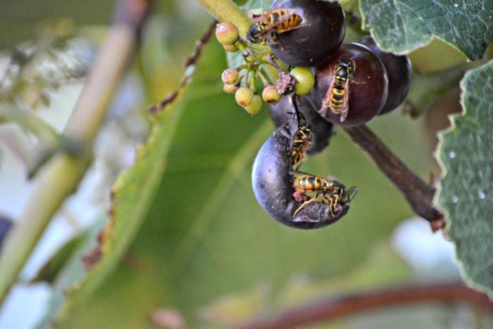 Осы способны нанести значительный вред урожаю винограда