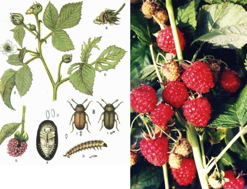 Этапы развития насекомого