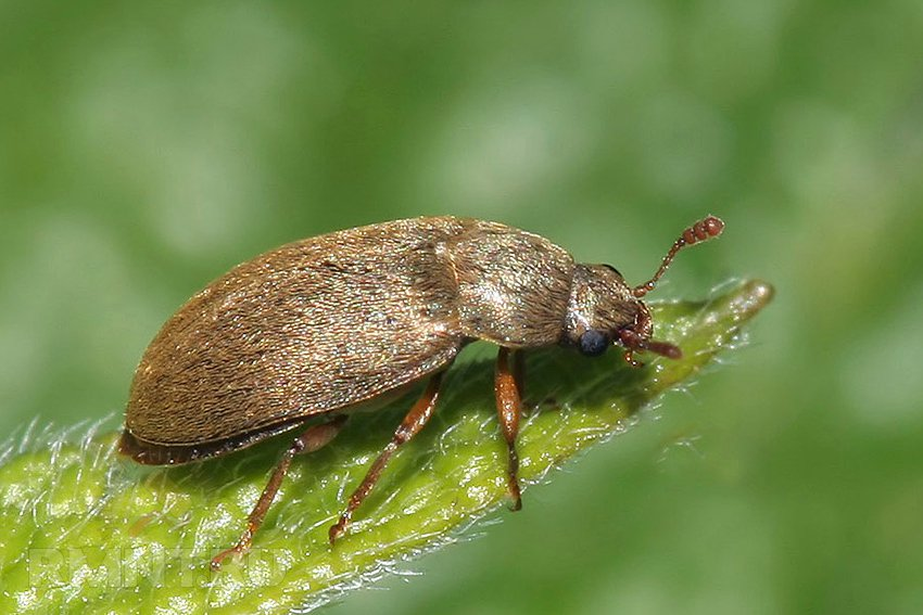 Малинный жук: фото вредителя