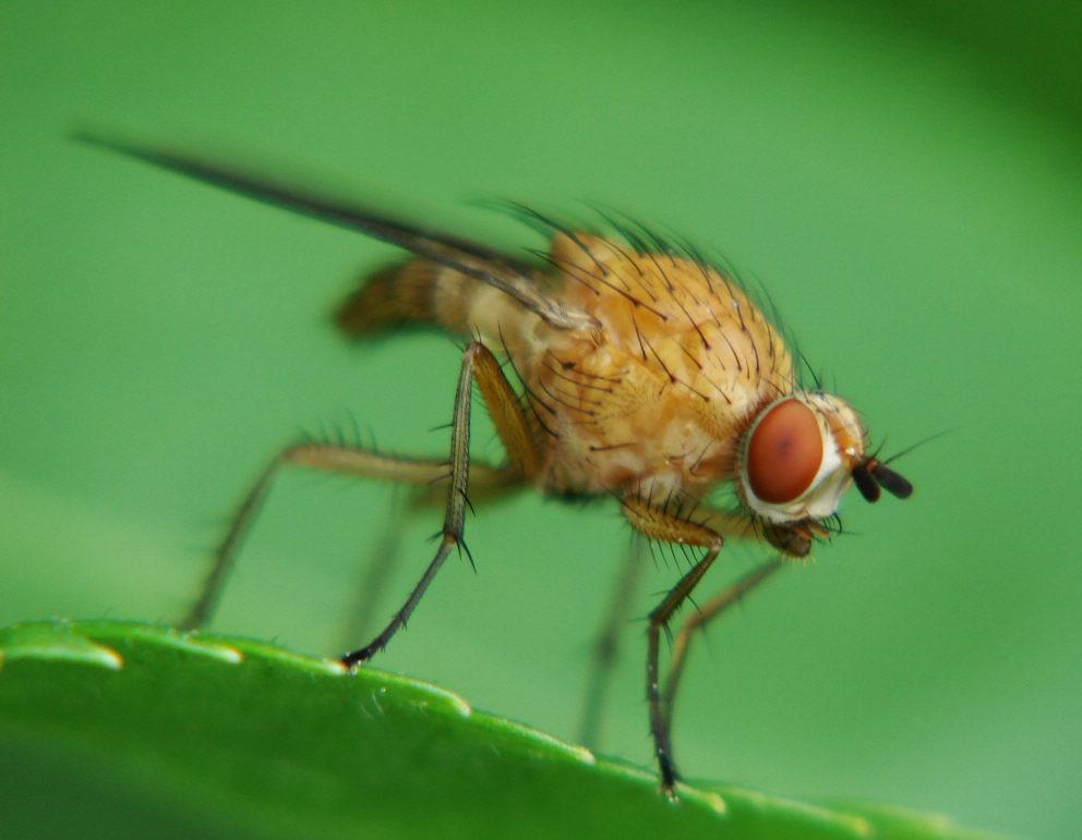 Малинная стеблевая муха: фото самки