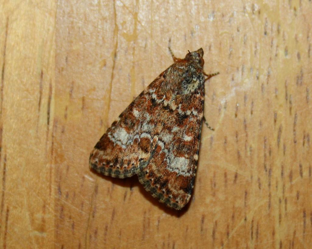 Бабочек можно ловить на самодельные приманки: емкости с забродившим компотом